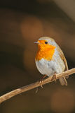 Robin in winter. On branch, under the sun Stock Photography