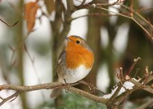 Robin in winter Royalty Free Stock Photo