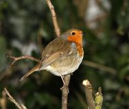 Robin in winter Stock Photo