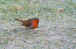 Robin in Winter. Cold and frosty morning,robin looking for worms Royalty Free Stock Images