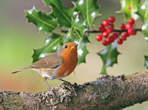 Robin in winter. Portrait of a Robin in winter Royalty Free Stock Photos