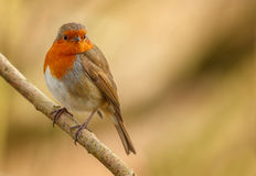 Robin on a winter branch Royalty Free Stock Images