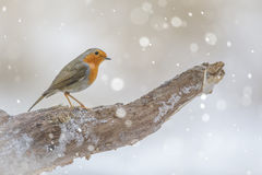 Robin in winter Stock Photography