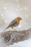 Robin in winter Stock Image