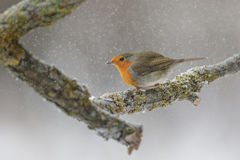 Robin in winter forest Royalty Free Stock Image