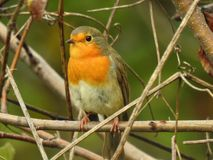 Robin stock photography