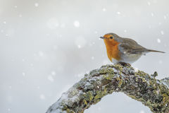 A robin in winter Stock Photography