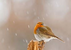 Robin in winter snow in Bavaria Stock Photos