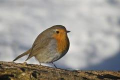 A robin Stock Photos