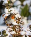 Robin in wintertijd Stock Afbeelding