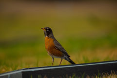 Robin on a wood rail Royalty Free Stock Photography