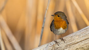 Robin on Wooden Log Royalty Free Stock Photo