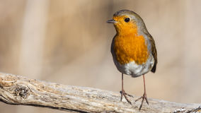 Robin on Wooden Log. Robin  Erithacus rubecula is perching on wood log Royalty Free Stock Images