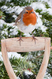 Robin on Wooden Spade Handle. Close up of European Robin perched on fork handle in front of pine tree covered in snow Royalty Free Stock Photos