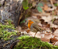 Robin in Woodland Royalty Free Stock Images