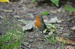 A Robin in woodland Royalty Free Stock Images