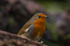 A robin in the woods. A close up of a robin in the woods, taken in Killykeen Forest Park, outside Killeshandra, in Co. Cavan, Ireland stock image