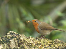 Robin and worm Royalty Free Stock Image