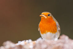 Robin with worm. Robin in winter with a mealworm in his beak Stock Photography