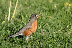 Robin with a worm Stock Photography