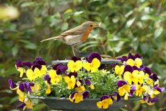 Robin, Wurm und Pansies Stockbild