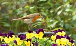 Robin, Wurm und Pansies Lizenzfreie Stockfotos