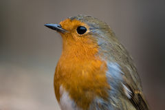 Robin & x28;Erithacus rubecula& x29; close-up of head and breast Royalty Free Stock Photo
