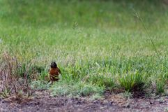 Robin in Yard Peaking Around Royalty Free Stock Photos