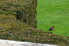 Robin on Yew Octagon, Mottisfont Abbey, Hampshire, England. Robin on Yew Octagon topiary at Mottisfont Abbey. The abbey was founded as an Augustinian priory in Royalty Free Stock Photography