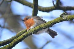 Robin zat op een boom met een hemelachtergrond royalty-vrije stock foto's