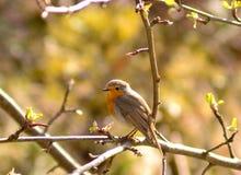 Robin in zonlicht Royalty-vrije Stock Afbeeldingen