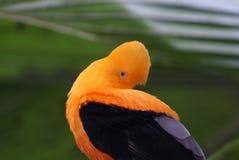 Robinet andin de l'oiseau tropical de roche image stock