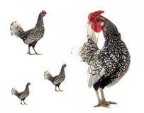 Robinet et poule Images stock