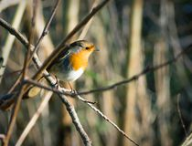 Robing redbreast sits on a twig. A Robin redbreast siting on a twig in the winter sun Royalty Free Stock Photos