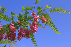 Robinia Stock Photo
