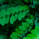 Robinia. Detail of small oval leaves of a robinia tree Stock Image