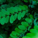 Robinia Stock Image