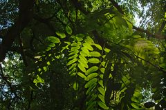 Robinia leafs in the evening light Royalty Free Stock Photo