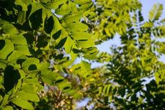 Robinia pseudoacacia. In the backlight Royalty Free Stock Photo
