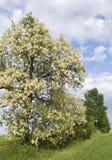 Robinia pseudoacacia. A tree in full bloom Royalty Free Stock Photography
