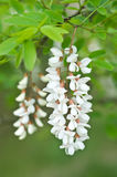 Robinia pseudoacacia Royalty Free Stock Photos