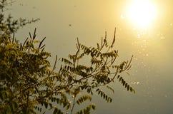 Robinia pseudoacacia Lizenzfreies Stockfoto