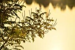Robinia pseudoacacia Lizenzfreie Stockbilder