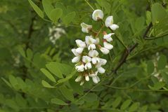 Robinia pseudoacacia blossom. White blossom of Robinia pseudoacacia tree Royalty Free Stock Image