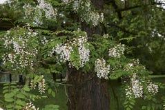 Robinia pseudoacacia blossom. White blossom of Robinia pseudoacacia tree Stock Photos