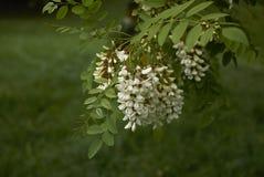 Robinia pseudoacacia blossom. White blossom of Robinia pseudoacacia tree Stock Photography