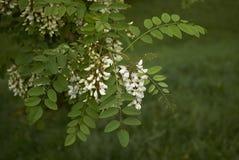 Robinia pseudoacacia blossom. White blossom of Robinia pseudoacacia tree Stock Image