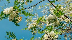 Robinia pseudoacacia or false acacia with blooming white flowers in spring time, green tree locust. Close up Stock Photography