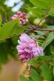 Robinia pseudoacacia rosa del primo piano del fiore dell'acacia fotografie stock