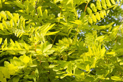 Robinia wallpaper. Close up of robinia green leaves wallpaper Stock Photo